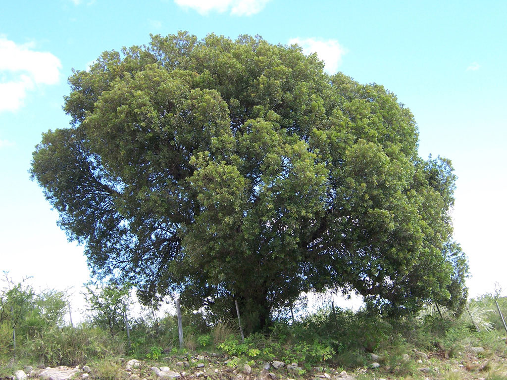 Árbol aruera