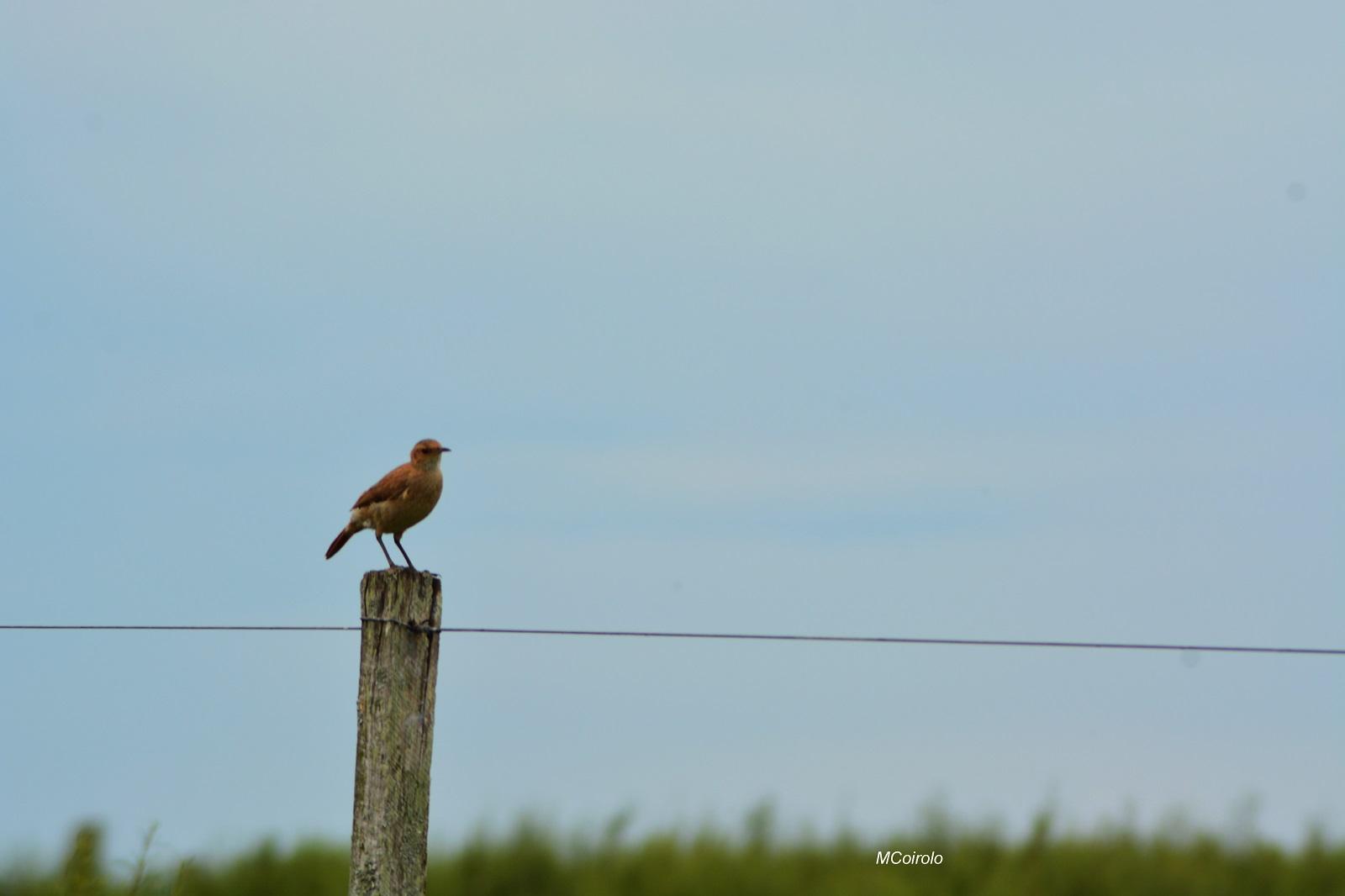 Pájaro hornero posando en un pique